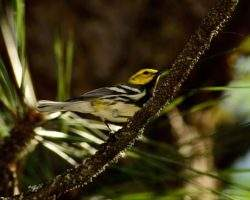 Black-throated green warbler at Bull's Gap