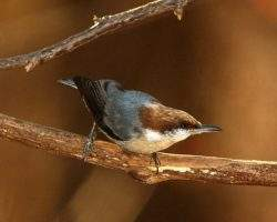 brown-headed-nuthatch