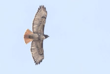 hawk-red-tailed-1